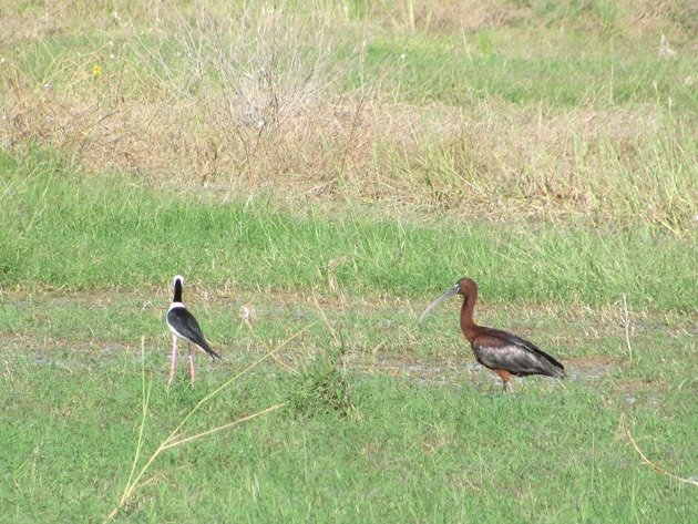 Glossy Ibis & Black-winged Stilt