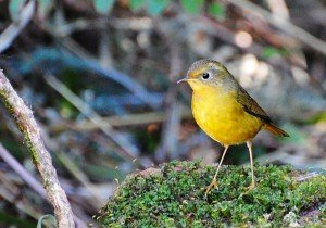 Golden Bush-Robin