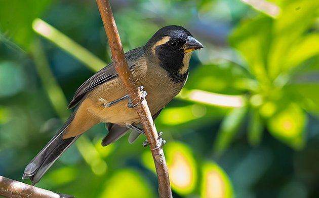 Golden-billed Saltator