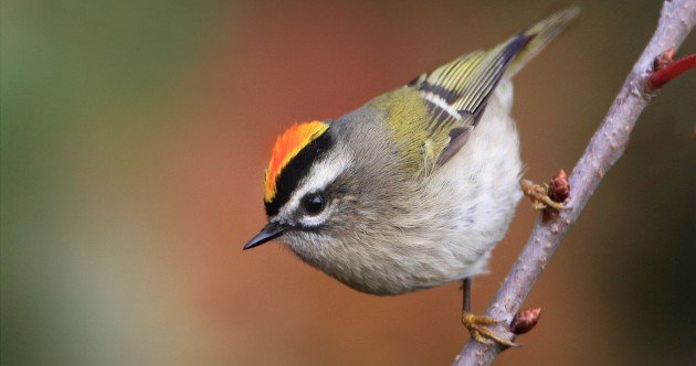 Golden-crowned Kinglet by winnu