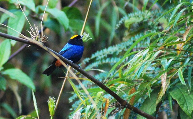 The origins of tanagers, warblers, and sparrows are coming into focus