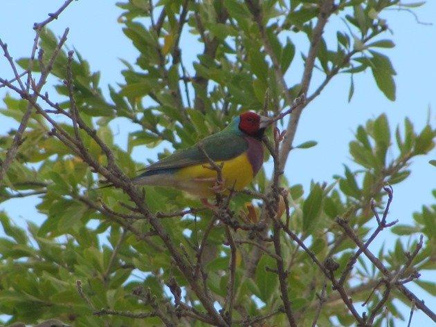 Gouldian Finch (2)