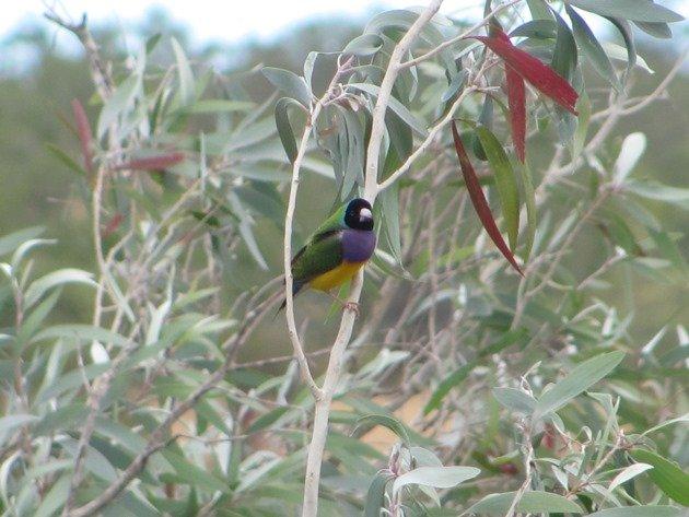 Gouldian Finch (3)