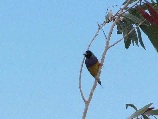 Gouldian Finch (4)