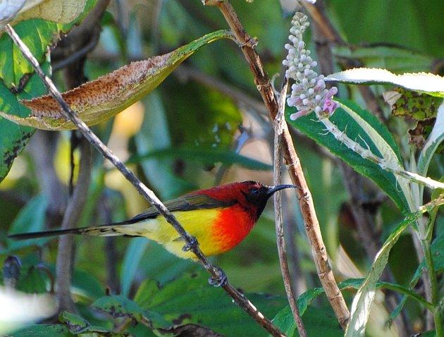 Gould's Sunbird