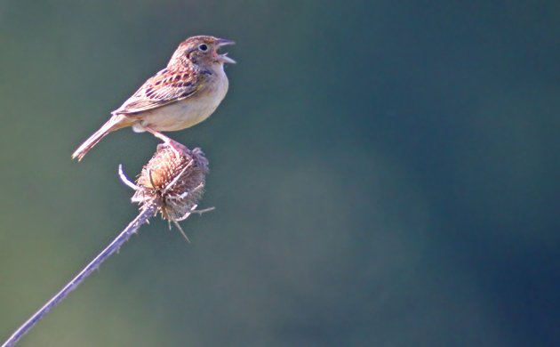 Grasshopper Sparrow at Shawangunk