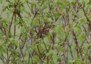 Grasshopper Warbler in bush