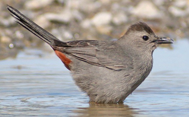Gray Catbird about to bathe