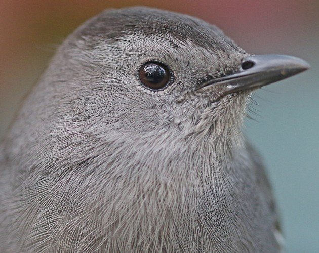 Gray Catbird close up