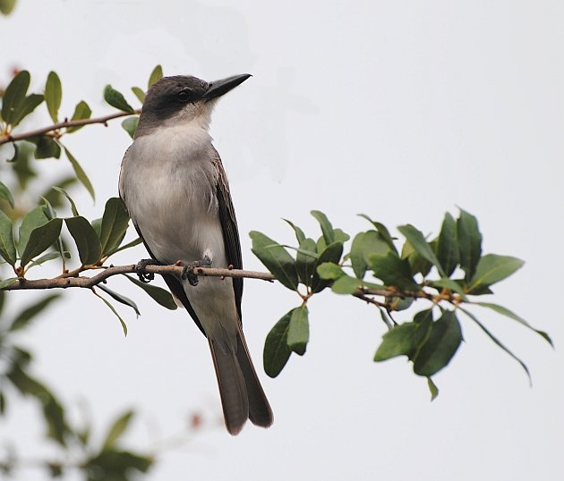 Gray Kingbird 29 May 2014
