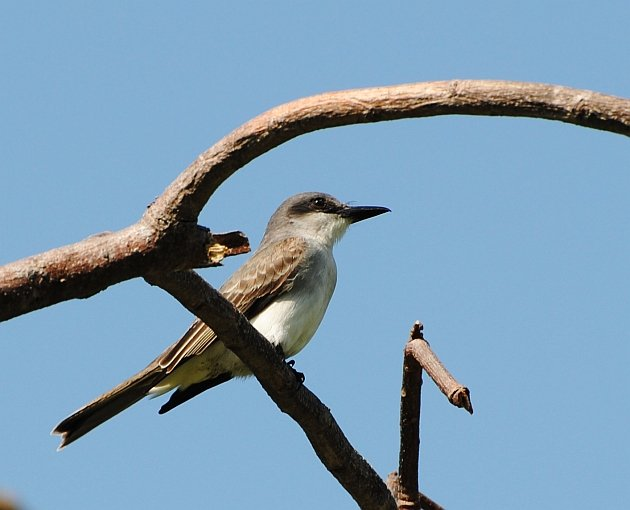 Gray Kingbird 30 March 2014