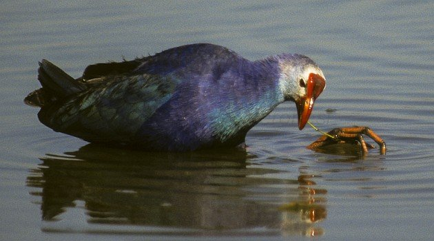 Gray-headed Swamphen (Porphyrio indicus)