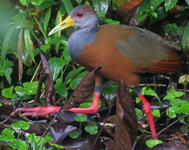 Gray-necked Wood-Rail walking