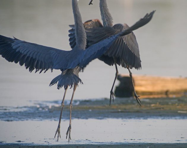 Great Blue Heron attack