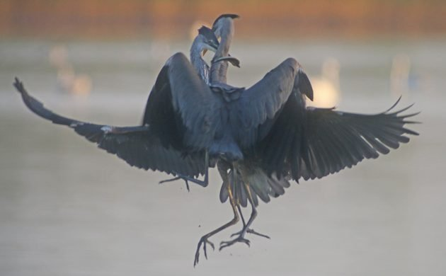 Great Blue Heron food fight