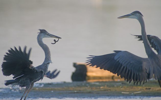 Great Blue Herons battling