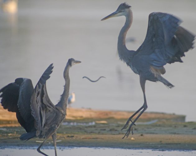 Great Blue Herons throwing food
