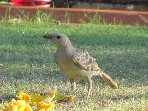 Great Bowerbird (3)