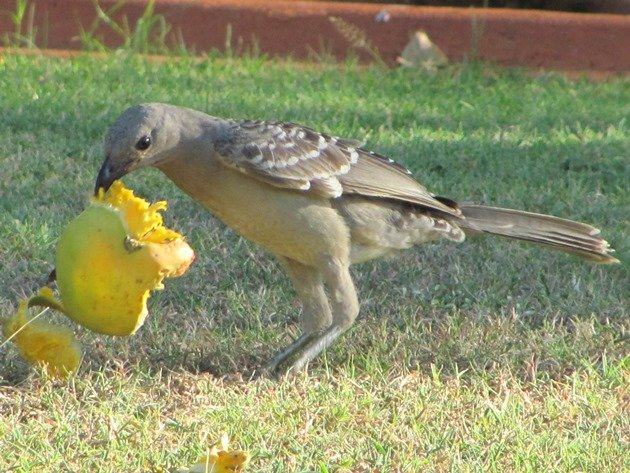Great Bowerbird (4)