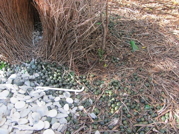 Great Bowerbird bower (12)