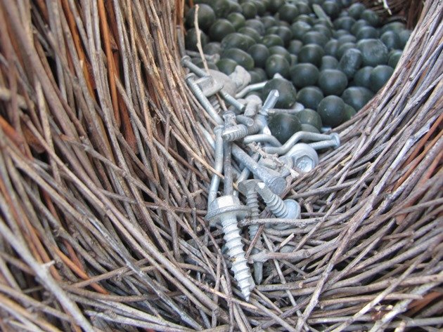 Great Bowerbird bower (14)