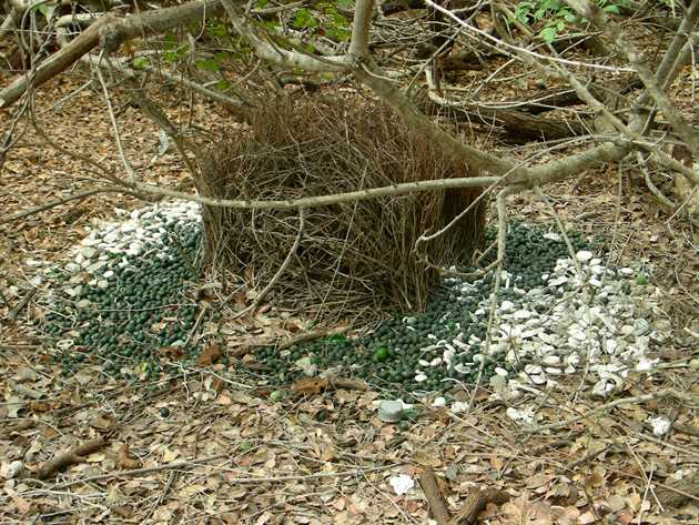 Great Bowerbird bower (2)