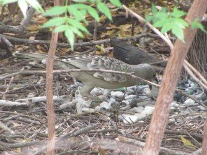 Great Bowerbird rearranging
