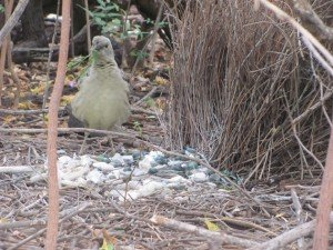 Great Bowerbird with flowers