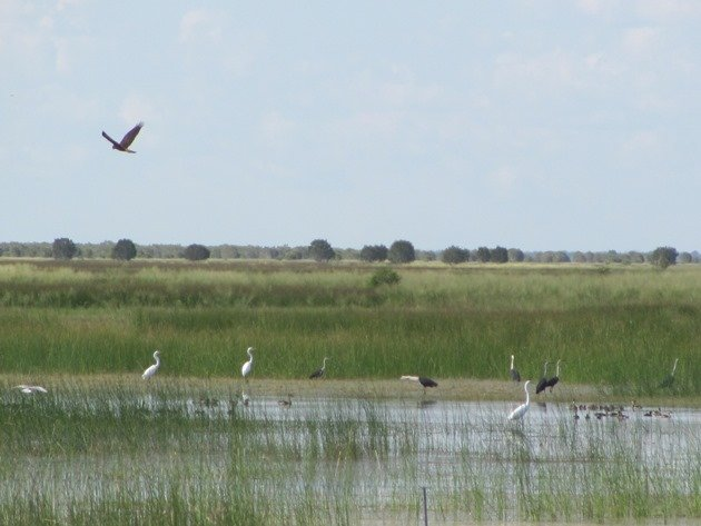 Great Egrets,White-necked Herons, etc.