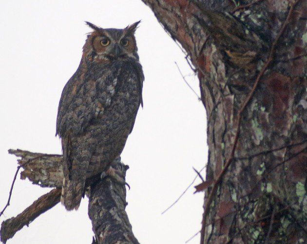Great Horned Owl perched in plain sight