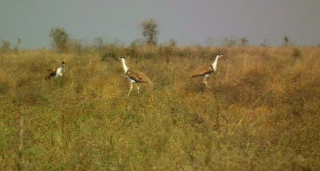 Great Indian Bustard (Ardeotis nigriceps)_3455209_226050906_n