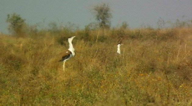 Great Indian Bustard (Ardeotis nigriceps)_3455211_387389849_n