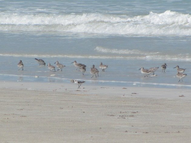 Great Knot & Sanderling