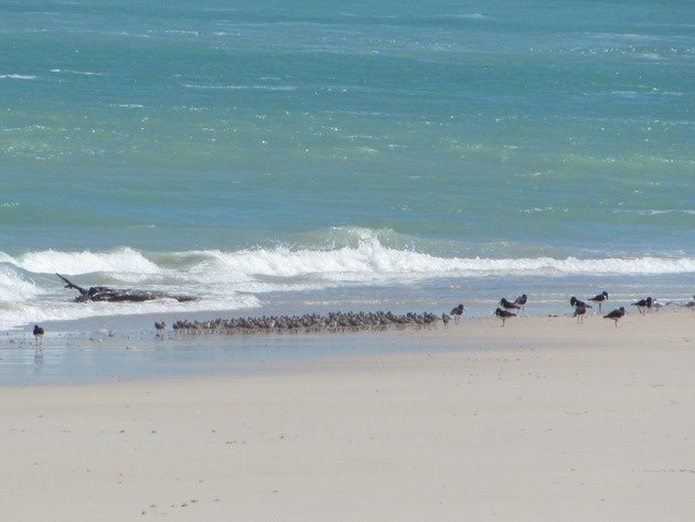 Great Knot and Pied Oystercatchers