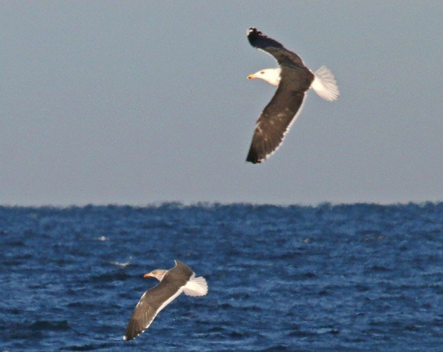Greater Black-backed Gull and Lesser Black-backed Gull