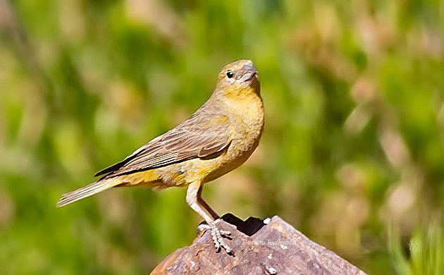 Greater-Yellow-Finch_008511