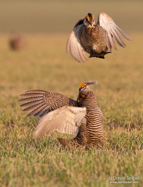 GreaterPrairie-Chicken_Seibel_2011-04-13_5577REZ