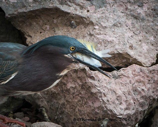 Green Heron-11