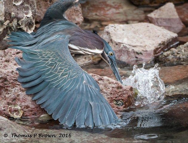 Green Heron-4