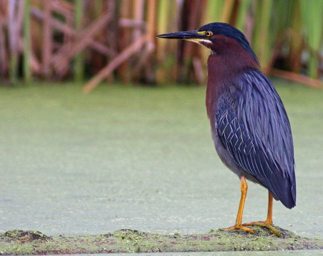 Green Heron at the Great Vly
