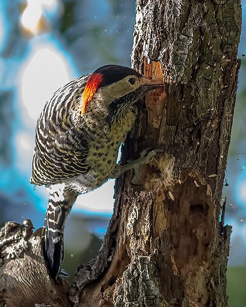 Green-barred Woodpecker