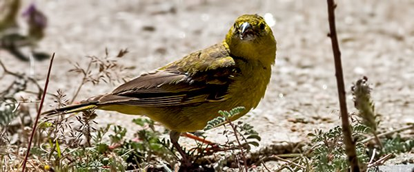 Greenish-yellow Finch