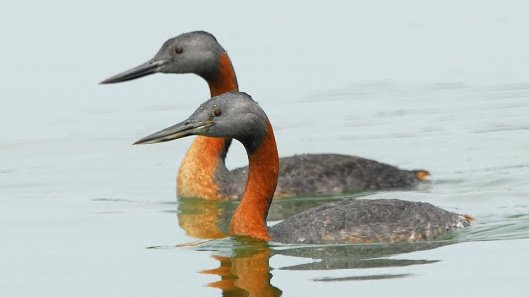 Gret-Grebes-by-Victor-Bustinza