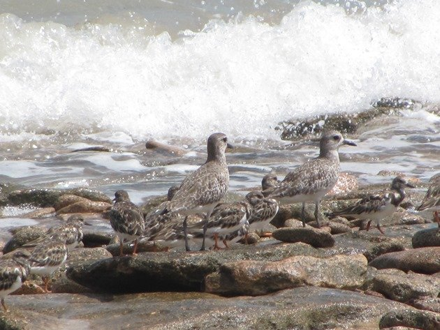 Grey Plover & Ruddy Turnstones (2)