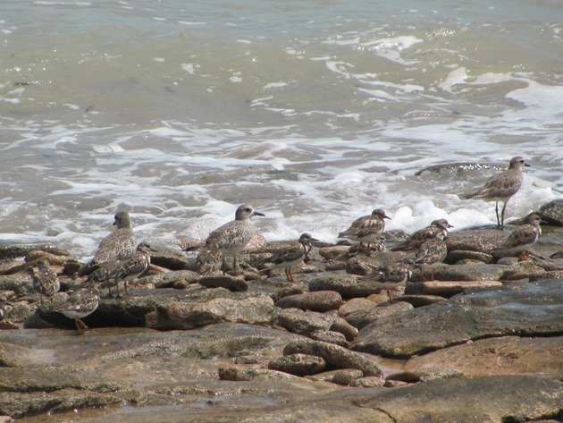 Grey Plover & Ruddy Turnstones (3)