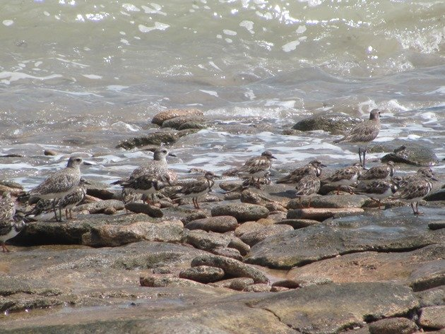 Grey Plover & Ruddy Turnstones (4)