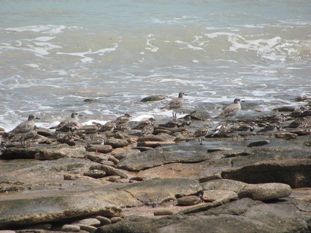 Grey Plover & Ruddy Turnstones (5)