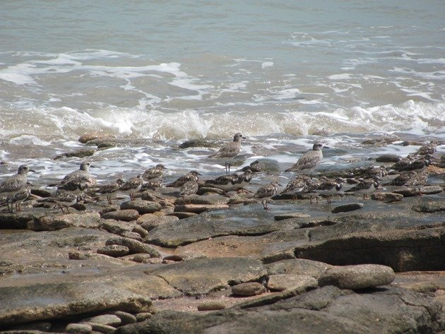 Grey Plover & Ruddy Turnstones (6)