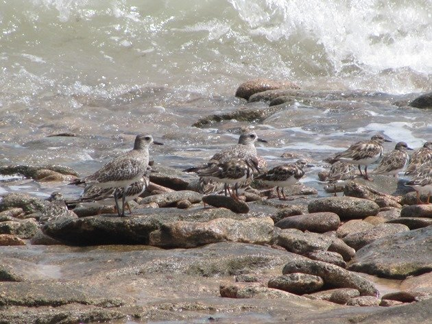 Grey Plover & Ruddy Turnstones (7)