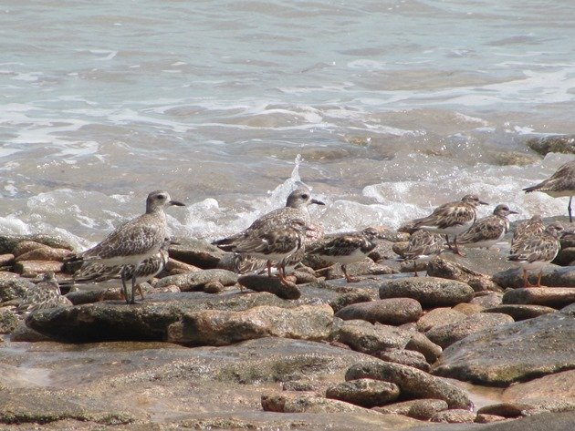 Grey Plover & Ruddy Turnstones (8)